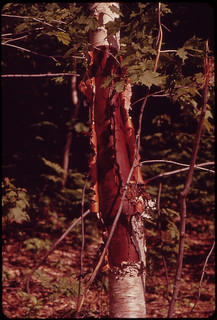 "Mutilated Tree in the ""Shelburne Birches"" Area on the Androscoggin River ... 06/1973"