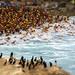 Gatorman La Jolla Roughwater Swim by Lee Sie