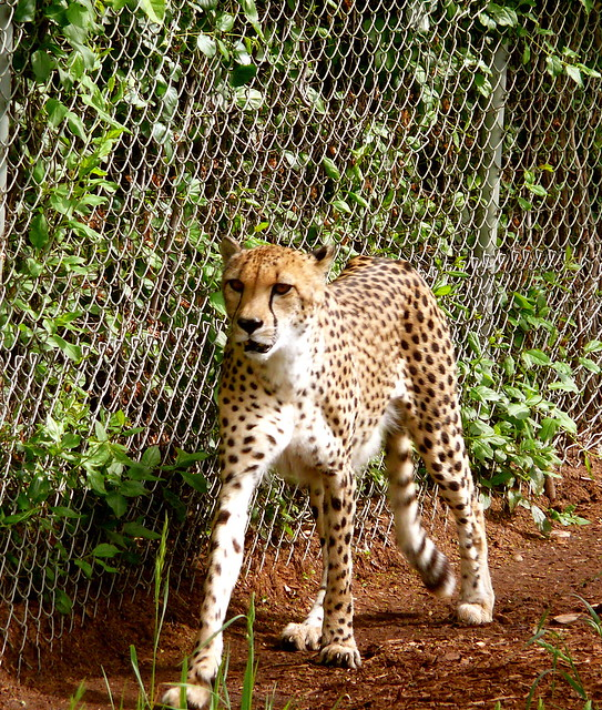 Patrolling Cheetah At Denver Zoo