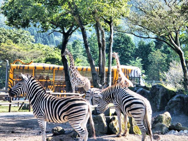 REAL zebras FAKE tiger