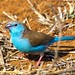Southern Cordonbleu - Photo (c) Arno Meintjes, some rights reserved (CC BY-NC)