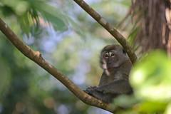 animal, rainforest, branch, monkey, mammal, fauna, old world monkey, new world monkey, wildlife,