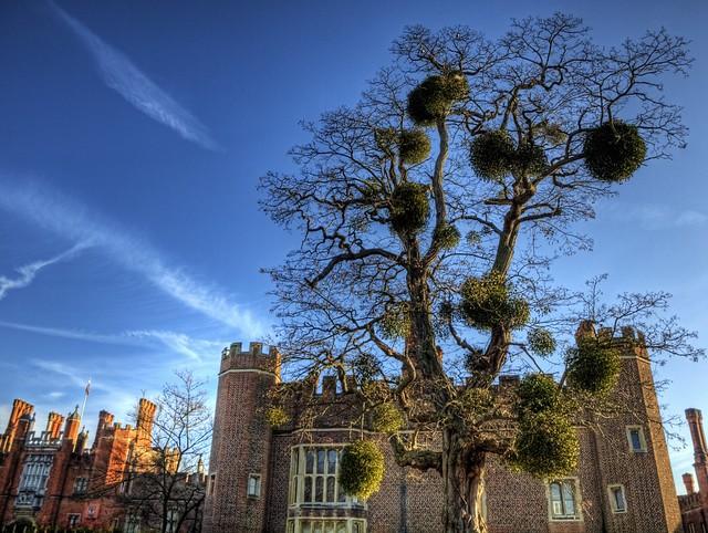 Tree with Mistletoe - Hampton Court Palace.