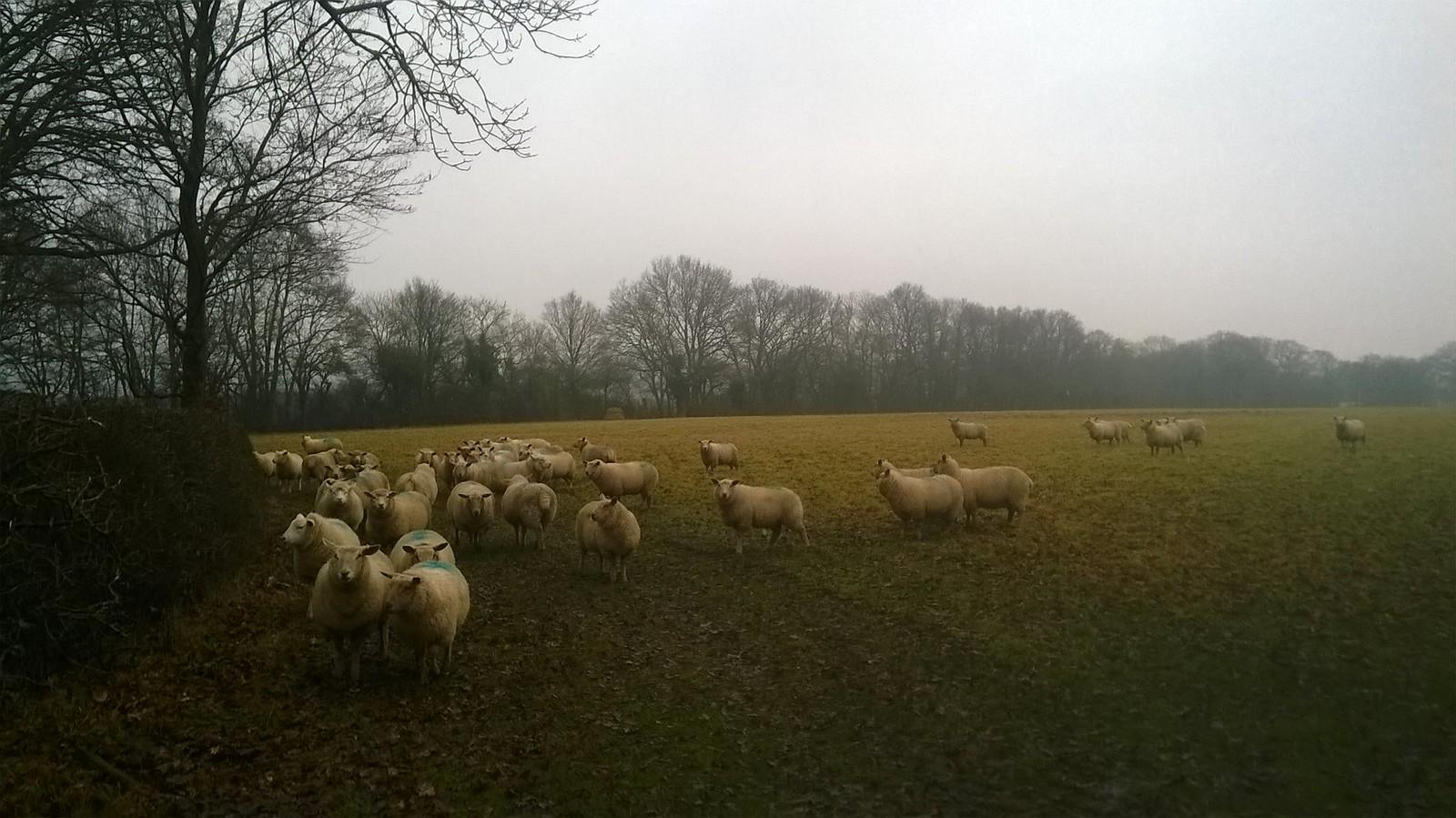 Sociable sheep