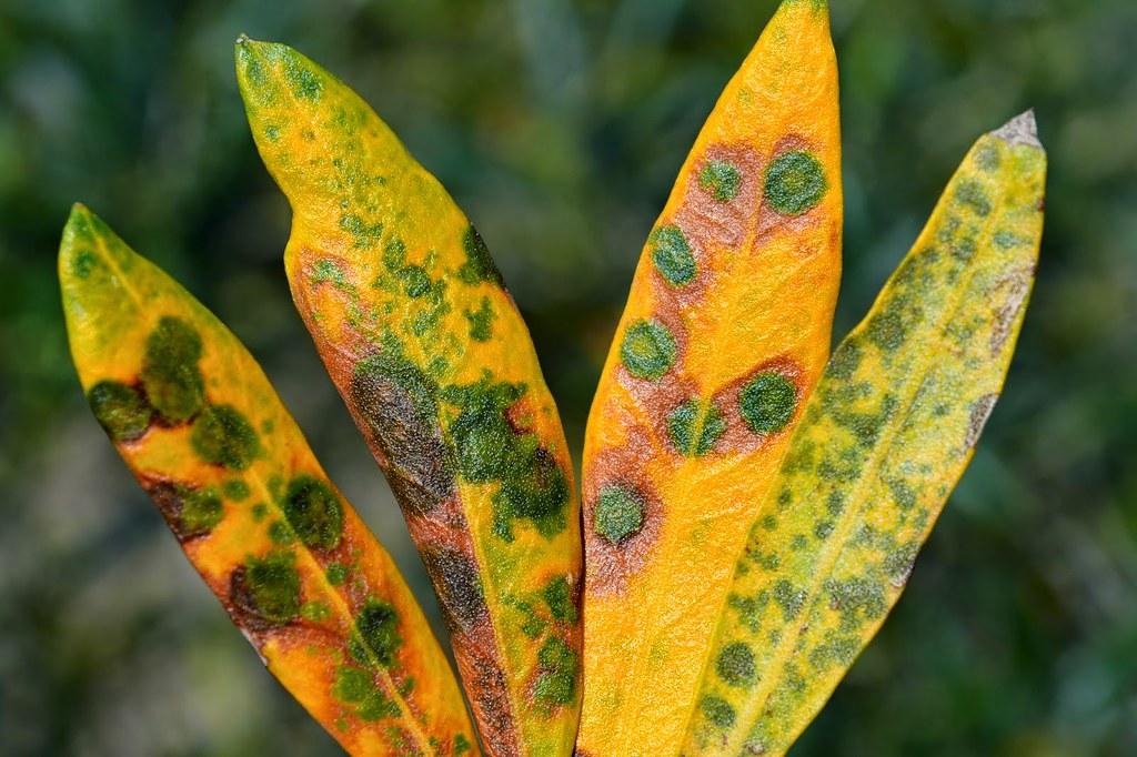 Zeytinde Halkalı Leke Hastalığı (Fusicladium oleagineum)