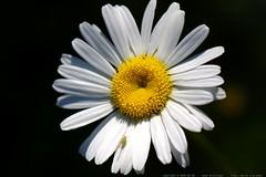 buggy daisy    MG 6650