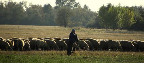 green nikon hungary sheep shepherd coolpix p90 lowland szabadkígyós nikonp90