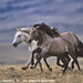 Running Mustangs-Wild Horse Stallions by WildImages