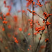 winterberry holly - Photo (c) niznoz, some rights reserved (CC BY-NC-SA)