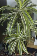 ti plant, plant, houseplant,