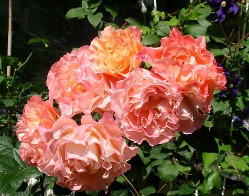 rosa 39 augusta luise 39 hybrid tea tantau nostalgie rose. Black Bedroom Furniture Sets. Home Design Ideas