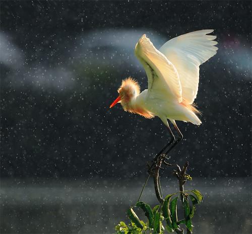 #468 黃頭漫紛 Shining Rain