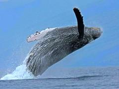 whales maalaea bay