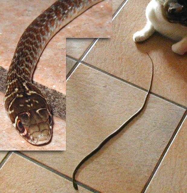 Che serpente flickr photo sharing for Biscia nera