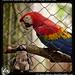 Pablito and Guacamaya roja, Scarlet macaw, Belize Zoo