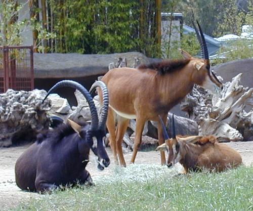 Sable Antelope Family ...
