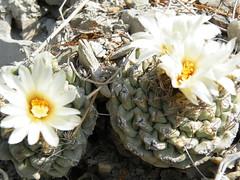 flower, yellow, macro photography, flora, floristry, close-up, cactus family,