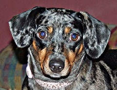 dachshund(0.0), dog breed(1.0), animal(1.0), dog(1.0), pet(1.0), austrian black and tan hound(1.0), carnivoran(1.0),