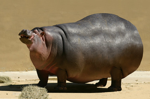 Image Gallery Largest Hippo
