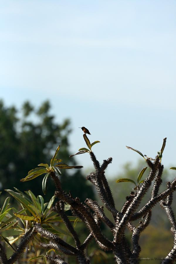 Allen's Hummingbird081-8