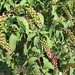 Small photo of American Pokeweed (Phytolacca americana)