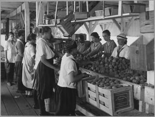 World War I Farmerettes Pack Peaches on a Virginia Fruit Farm in August, 1917