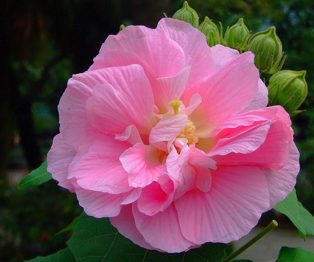 Malvaceae double flowered cottonrose hibiscus hibisscus malvaceae double flowered cottonrose hibiscus hibisscus mutabilis cv versicolor izmirmasajfo