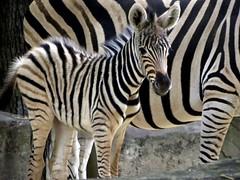 zoo antwerpen : baby zebra