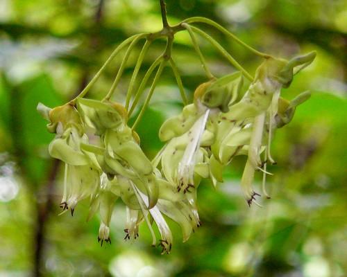 Burny Bean inflorescence