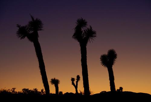 trees sunset silhouettes joshuatrees joshuatreenationalpark