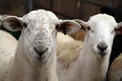 Katahdin ram lambs