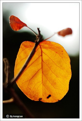 图:漆树科黄栌属黄栌(091024鹫峰)