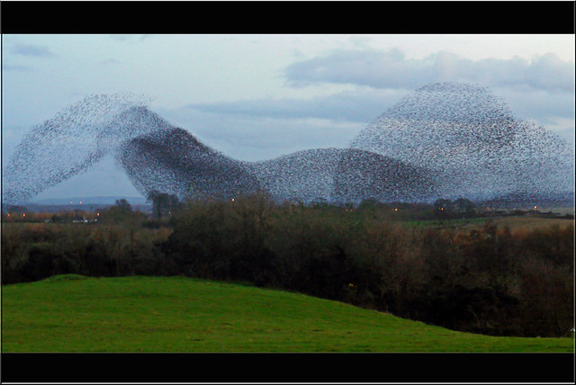4109702641 618f9a2724 z [Inspiration] Otherworldly Images Of The Phenomenon Known As A Murmuration