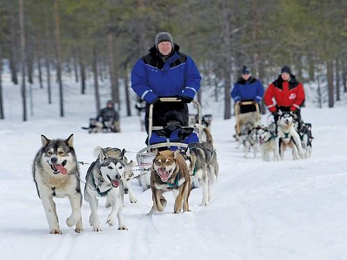 Husky Sledging - Swedish Lapland