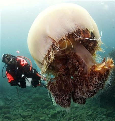 Ahh!..Monster Jellies!!  Possible Massive Jellyfish Invasion!