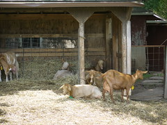 zoo, pet, goats, domestic goat, herding, cattle, animal shelter,