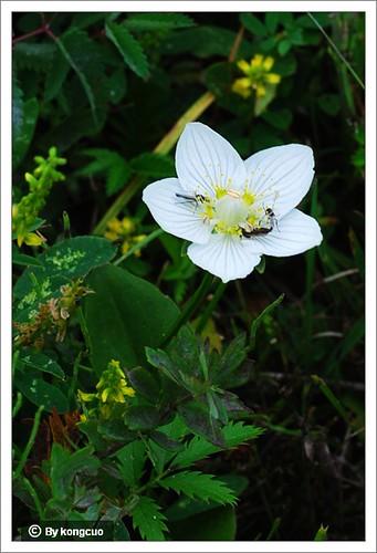 内蒙古植物照片-虎耳草科梅花草属多枝梅花草
