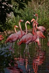 Toronto Zoo-flamingo