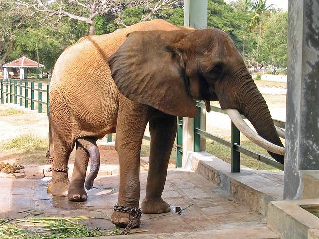 cock galleries Elephant
