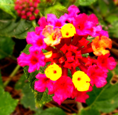 annual plant, flower, macro photography, flora, lantana camara, petal,