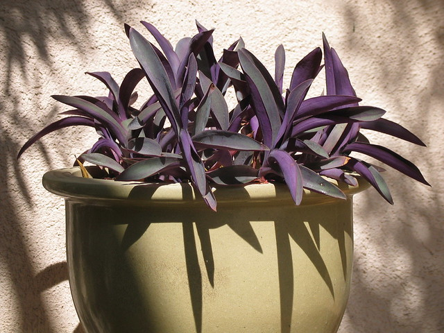 The Moses In A Basket Plants Are All Flowering Tradescantia Images Frompo