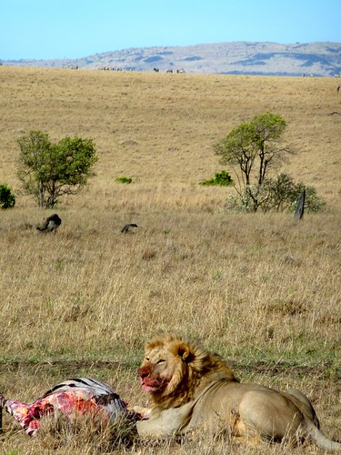 Lion with his kill, Maasai Mara, Kenya
