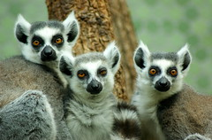 Lemurs at zoo
