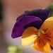 Small photo of Violetta bicolor