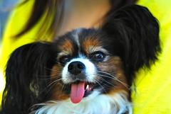 puppy(0.0), tibetan spaniel(0.0), spaniel(0.0), papillon(0.0), dog breed(1.0), animal(1.0), dog(1.0), yellow(1.0), pet(1.0), mammal(1.0), king charles spaniel(1.0), phalã¨ne(1.0), close-up(1.0), cavalier king charles spaniel(1.0),