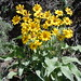 arrowleaf balsamroot - Photo (c) Matt Lavin, some rights reserved (CC BY-SA)