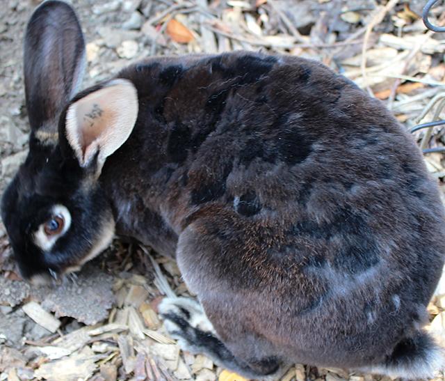 black Rex rabbit shedding winter coat #bunny