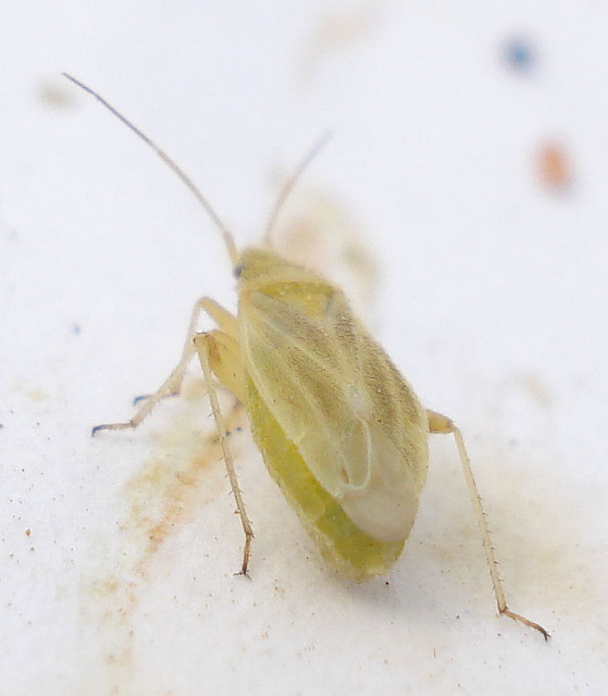 Header of Amblytylus nasutus