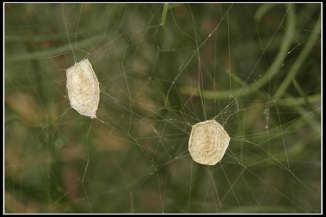 Argiope trifasciata egg sack flickr photo sharing for Garden spider egg sac