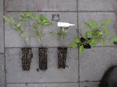 Tomato-4Roma-8917